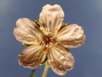 009-wild-geranium