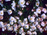 106-white-primrose