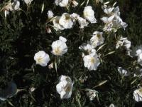 110-evening-prim-rose