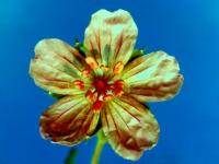 009-wild-geraniumaltered