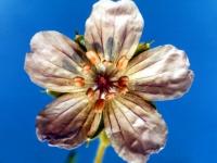 009a-wild-geranium