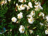 110-evening-prim-rosealtered