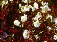 110-evening-prim-rosealtered2
