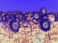 sunflower1printplay4