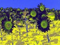 sunflower1printplay1