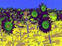 sunflower1printplay2