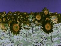 sunflower1printplay3