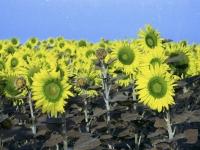 sunflower1printplay5