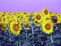 sunflower1printplay6