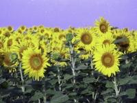 sunflower1printplay7