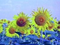 sunflower4play2
