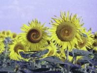 sunflower4play4
