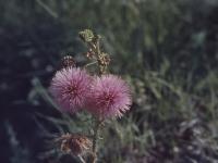 417-sensitive-rose