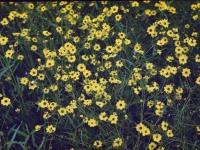 Coreopsis July 1948 (212).jpg