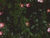 Wild Roses in a hedge June 5 1950 Wichita (49).jpg