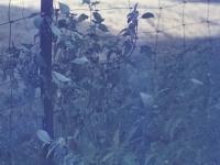 Black Nightshade August 1957 (460).jpg