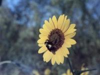 Bumble bee on a Sunflower       September 1955  (280).jpg