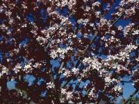 Flowering Crab Tree April 24 1949 (211).jpg