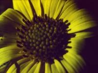 Maximillian Sunflower October 16 1954 (265).jpg