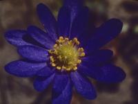 Blue Anemone Spring 1947 (15).jpg