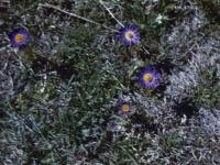 Blue Anemones April 1947 (21).jpg