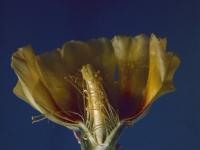 Cactus Blossom (03a).jpg
