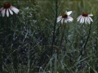 Echinacea (161).jpg