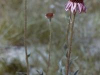 Echinacea snake root (162).jpg