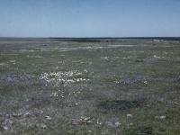 Field of Anemones Spring 1947 (13).jpg