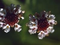 Fog Fruit Lippia Cuneifolia Summer 1955 (275).jpg