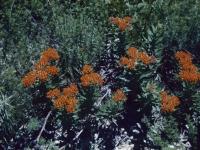 Butterfly Milkweed June 1951 (30).jpg