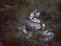 Cobaea Penstemon (116).jpg
