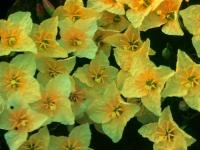 Evening Primrose Spring 1950 (105).jpg