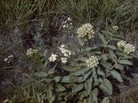 Milkweed (37).jpg