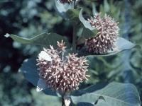 Milkweed June 29 1958 (465).jpg