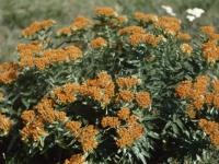 Butterfly Milkweed June 1948 near Topeka (31).jpg