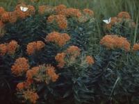 Butterfly Milkweed, with Butterflies (35).jpg