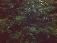 Cedar Apple Rust (03).jpg