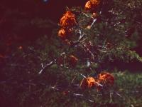 Cedar Apple Rust (04a).jpg