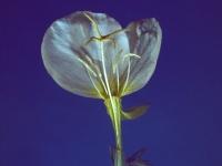 Evening Primrose (82).jpg