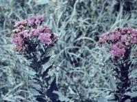 Iron Weed August 1957 (428).jpg