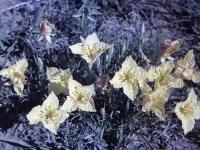 Lavender Leaf Primrose May 19 1957 (371).jpg