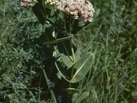 Milkweed June 1948 East of Topeka (36).jpg